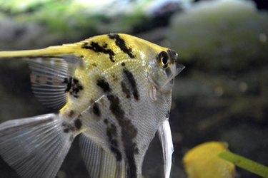 Animals, fish, scalar