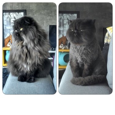 Fluffy cat before and after haircut.