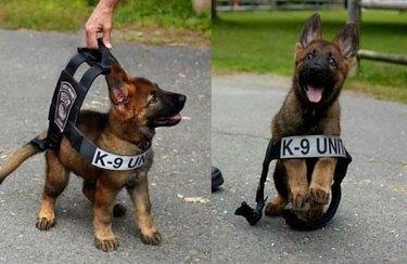 K-9 cop puppy
