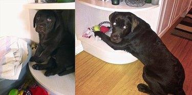 puppy who grew into a big dog