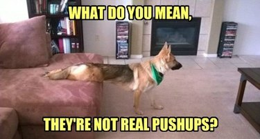 German shepherd dog on couch in pushup position.