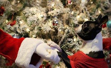 Small dog gazing up at off-camera Santa.