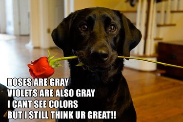 Dog holding rose in its mouth. Caption: Roses are gray, violets are also gray, I cant see colors, but I still think U R great!!