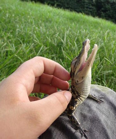 Baby crocodile getting its back scratched.
