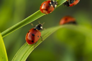 lady bugs on grass leaves