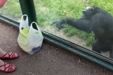 Relatable chimp prefers soda to fruit