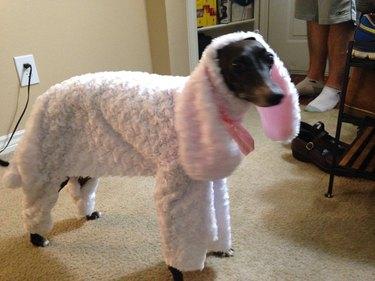 Dog dressed as a sheep.