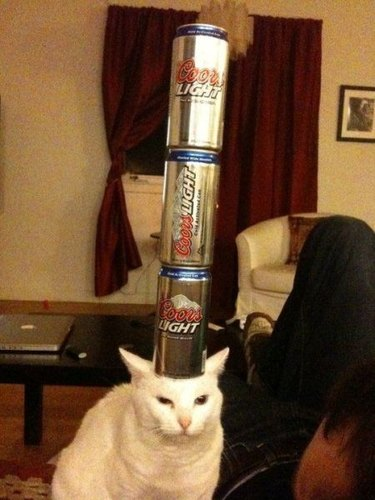 Cat with cans of beer stacked on its head.