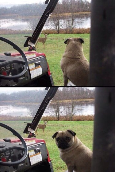 Pug in golf cart looking at deer in distance