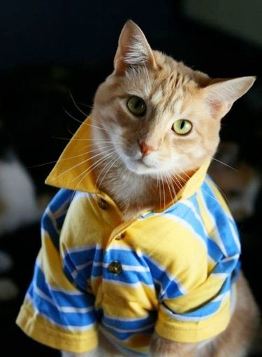 Cat wearing a polo shirt with the collar popped.