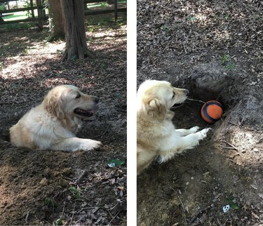 Photo set of dog lying in a hole and putting a ball in the hole