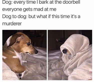 Concerned looking dog hides under blanket.