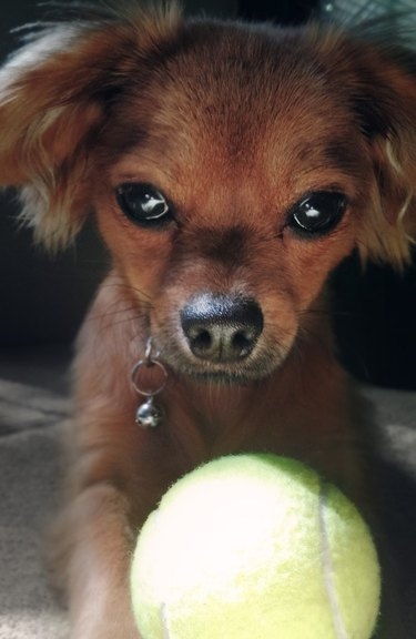 Dog looking down at very bright tennis ball.