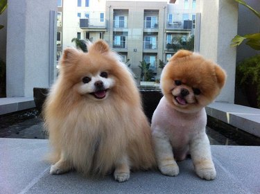 Dogs before and after hair cut