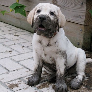 Puppy with mud on its face and paws.
