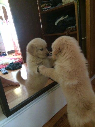 Puppy looking in mirror