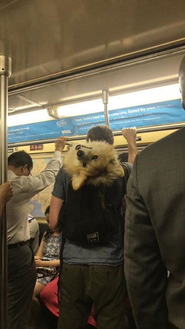 Corgi in backpack on subway looking at photographer upside down