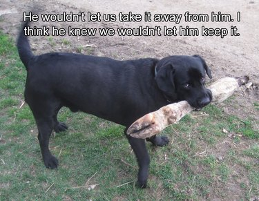 Dog carrying a large leg formerly attached to a hoofed animal.