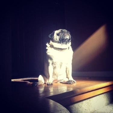 Pug in sunlight.