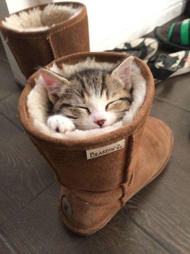 cat sleeps in boot