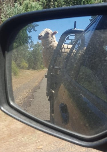 Sheep in car.