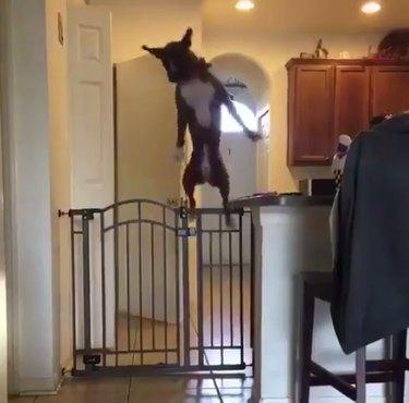 Dog Effortlessly Jumping Over Kitchen Gate Is Living Her Best Life
