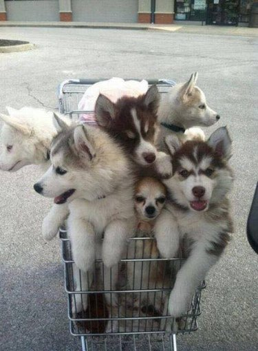 Dogs in shopping cart
