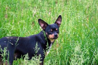A black dog in green grass