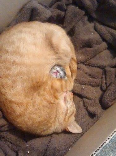Momma cat snuggled around baby kitten
