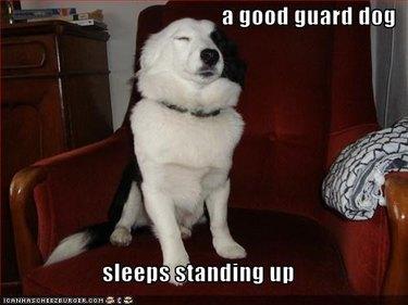 Dog sitting upright with eyes closed.