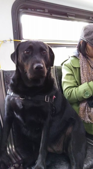 This Lab Rides The Bus Alone Every Day To A Hilarious Destination