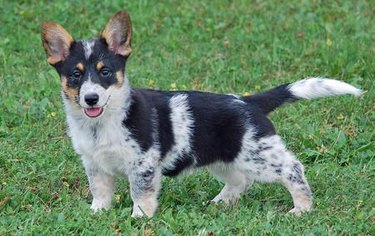 These 26 Corgi Mixes Prove The Best Things In Life Come In Small Packages