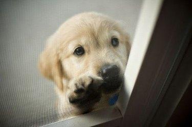 Puppy looking up through screen door.