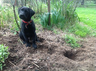 Dog next to small and deep hole.