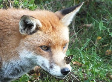 Butterfly on fox's nose.