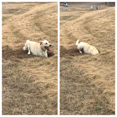 Photo set of dog in field, first with paws in a hole, then with head in a hole.