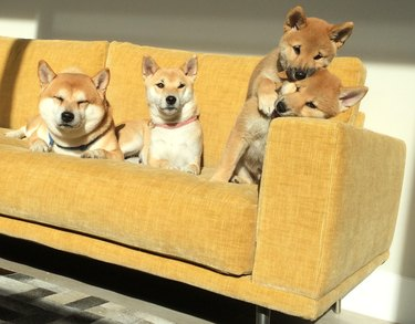 Family of dogs on couch.