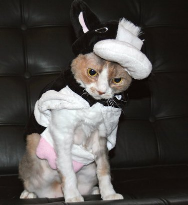 Cat in ill-fitting cow costume.