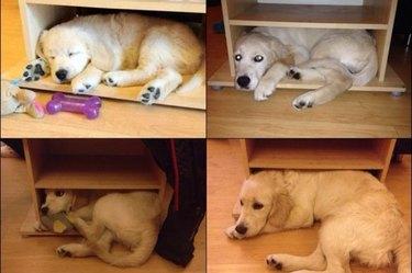 golden retriever puppy who grew into a big golden retriever