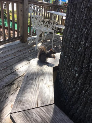 Watch As Squirrel Who Lives On Mini Golf Course Dines On Mini Ice Cream Cones