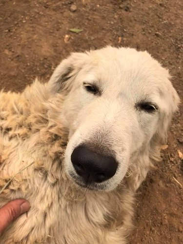 This Hero Dog Somehow Survived the California Wildfires and Saved a Flock of Goats