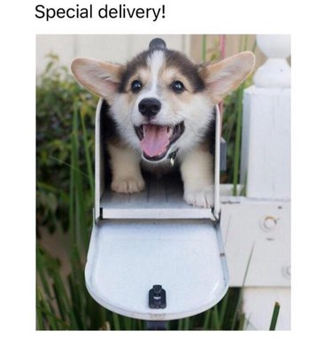 Corgi puppy in mailbox. Caption: Special delivery!
