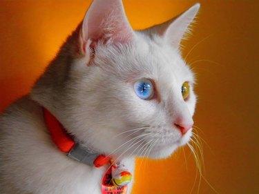Athena the white cat