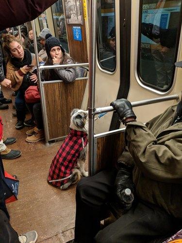 doggo waits patiently on train