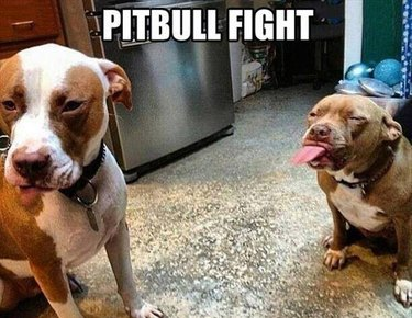 Pitbull sticking out its tongue at another pitbull.