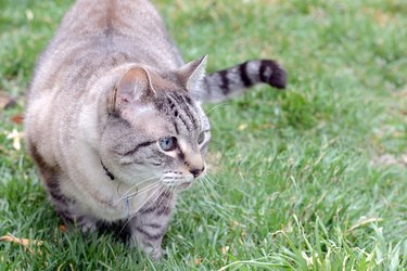 A gray cat stalking something in green grass.