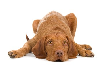 Wirehaired Vizsla Dog Breed Facts & Information