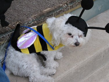 Dog looking sad in a bee costume