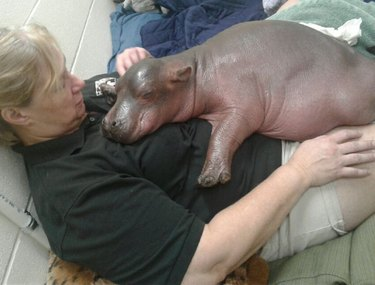 Premature 1-month-old Baby Hippo Is Too Heavy For Staff To Carry