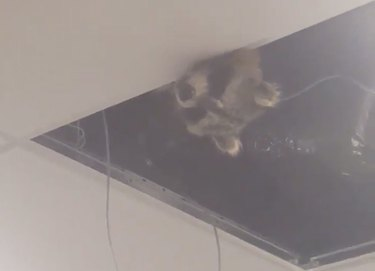 Ceiling Raccoon Becomes Airport's Unofficial Mascot After Eluding Security